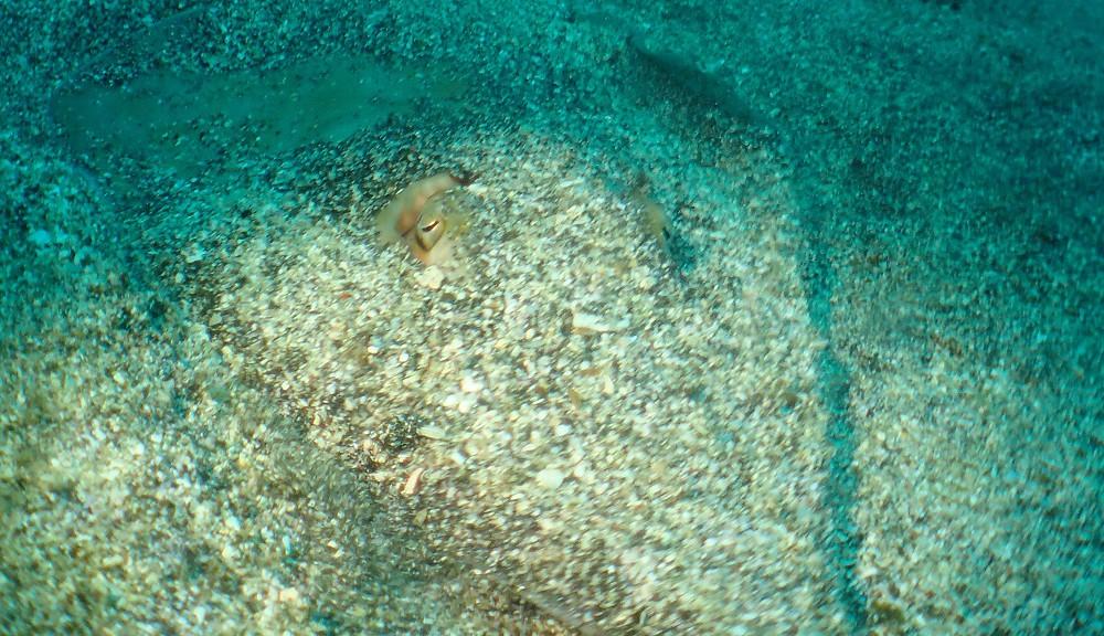 砂地の忍者魚・サカタザメ