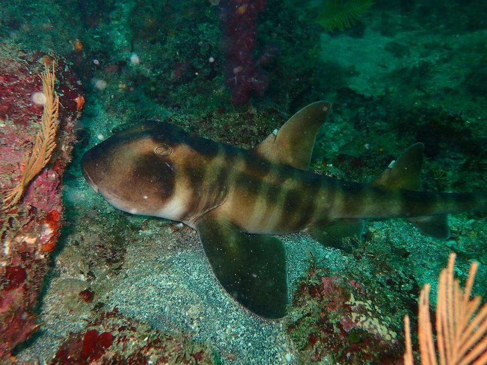海洋公園はネコザメの成魚、幼魚共に個体数が多く見られます。