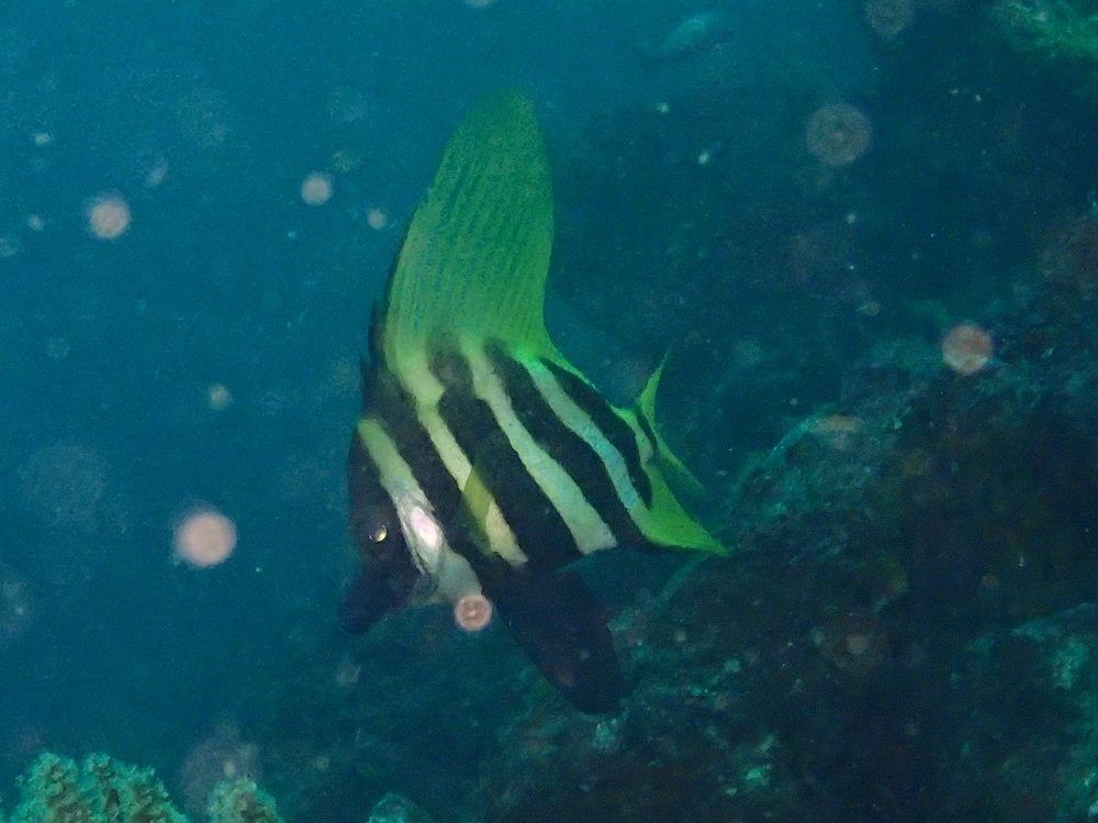 特徴的な魚・テングダイ