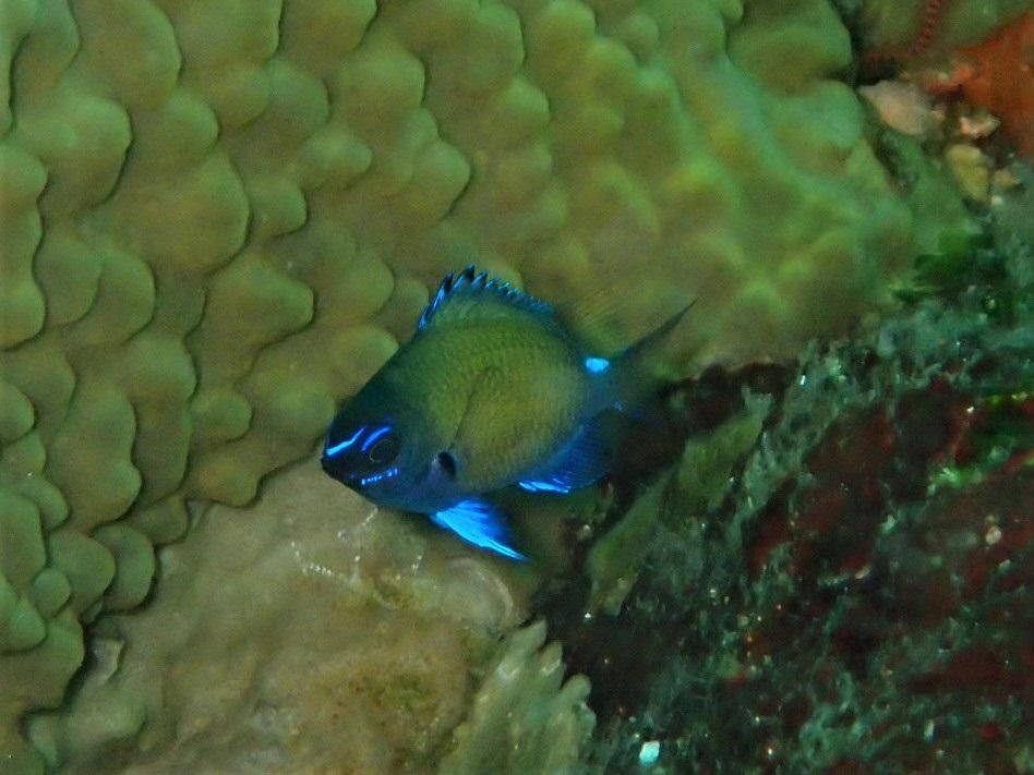 額のVマークが鮮やかなアマミスズメダイ幼魚