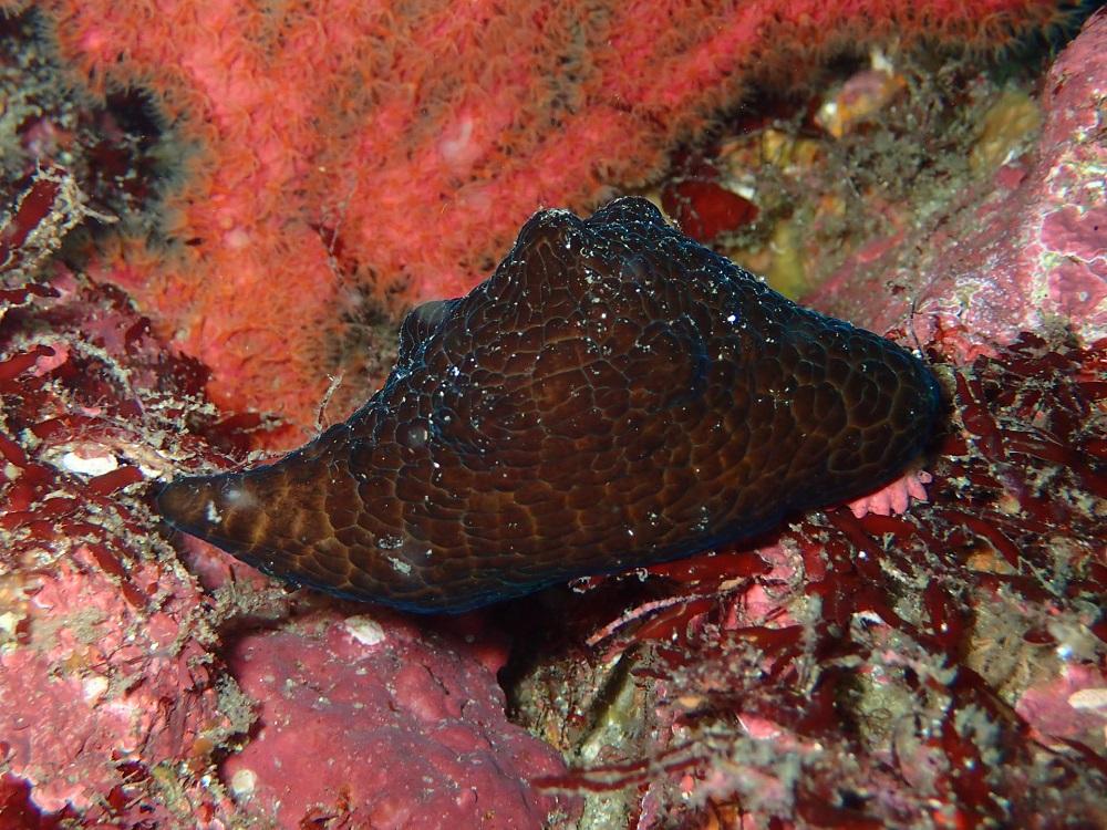 貝には見えないイボベッコウタマガイ、軟体動物