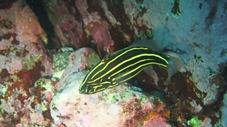 南方種・ヌノサラシ成魚