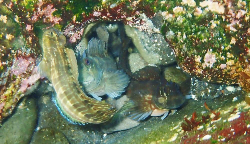 ペアに割り込み追い出されるカエルウオ♂
