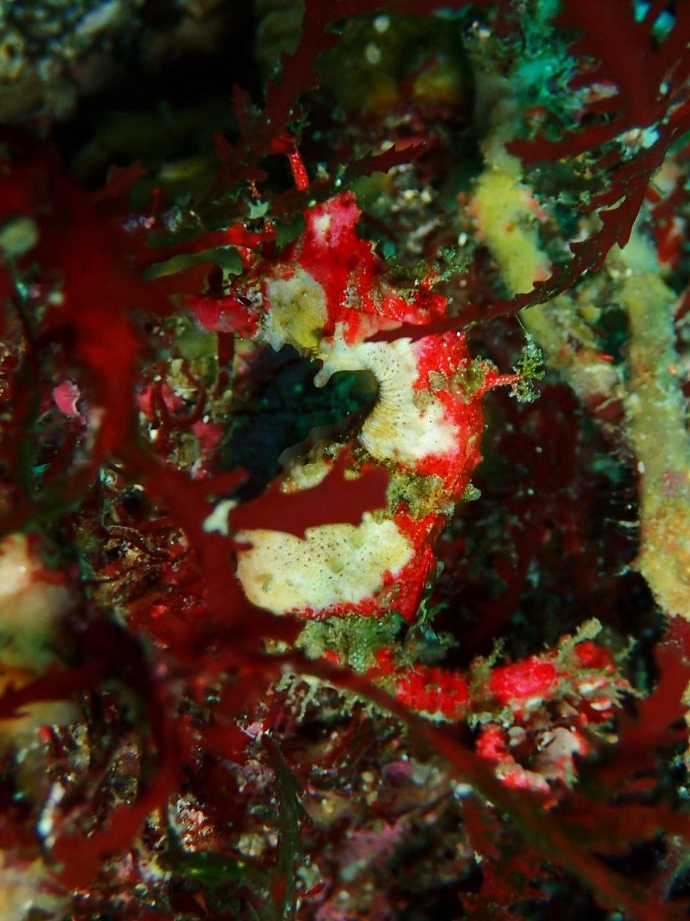 海草に擬態ハナタツ