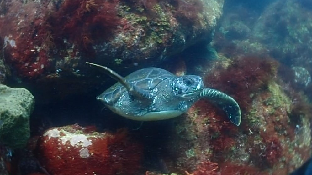 浅場に住んでいるアオウミガメ