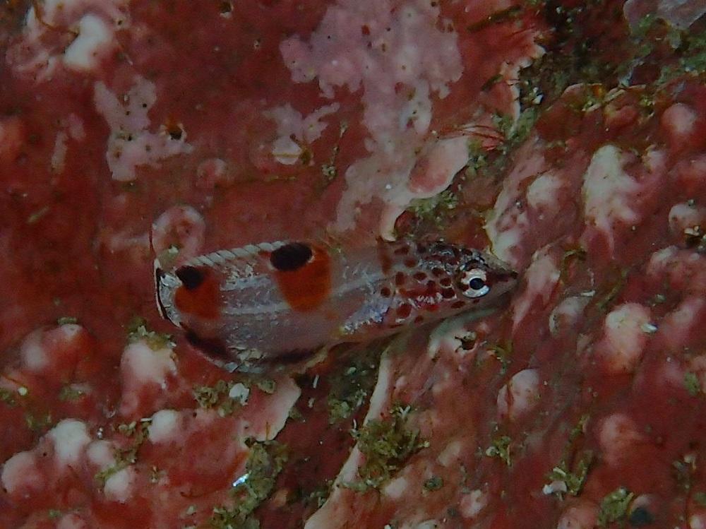 体長1cm・カンムリベラ幼魚