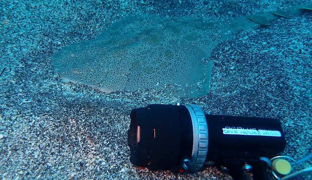 カスザメ幼魚