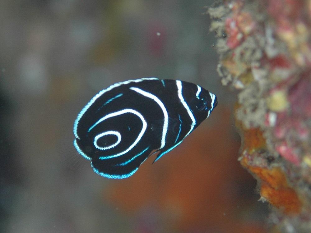 体長2cm・タテジマキンチャクダイ幼魚