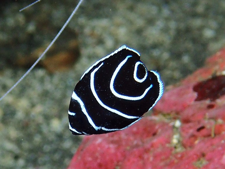 サザナミヤッコ幼魚・写真提供、H・鈴木様