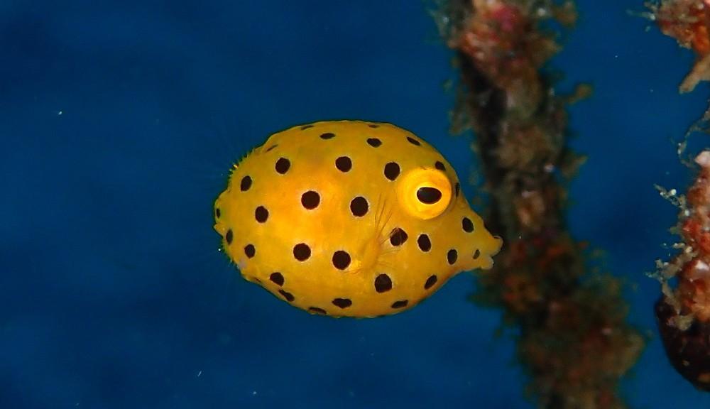 少し成長したようです、ミナミハコフグ幼魚