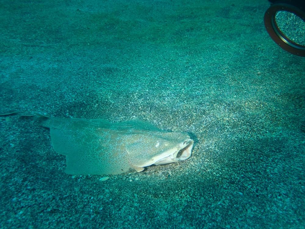 砂地にはカスザメ幼魚
