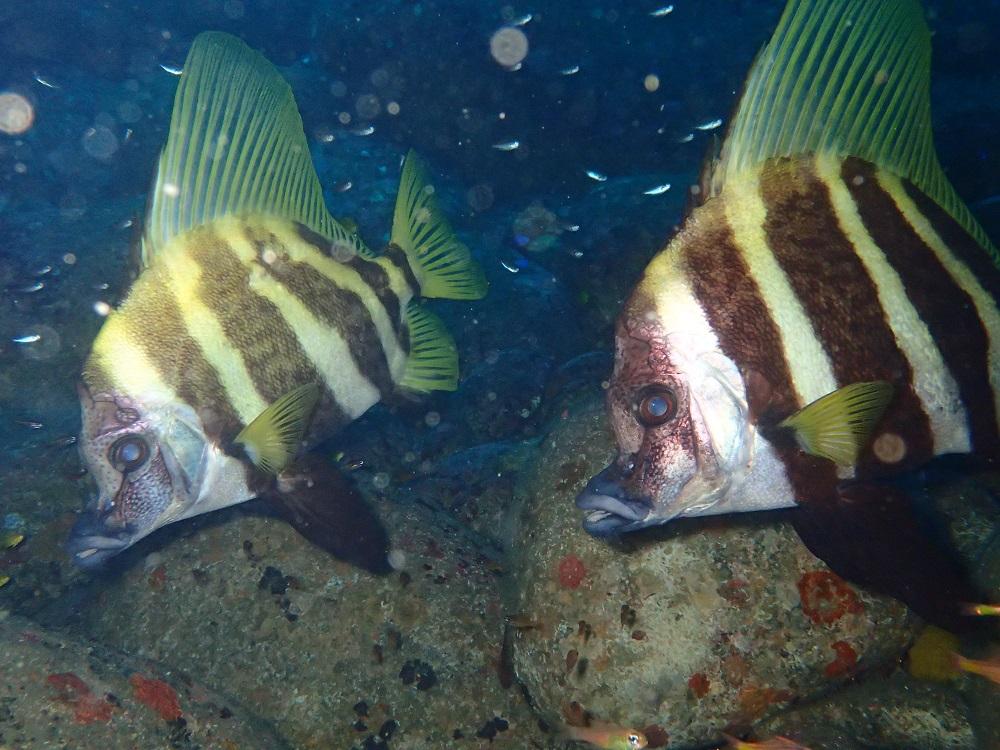 近くで見れるテングダイ2個体