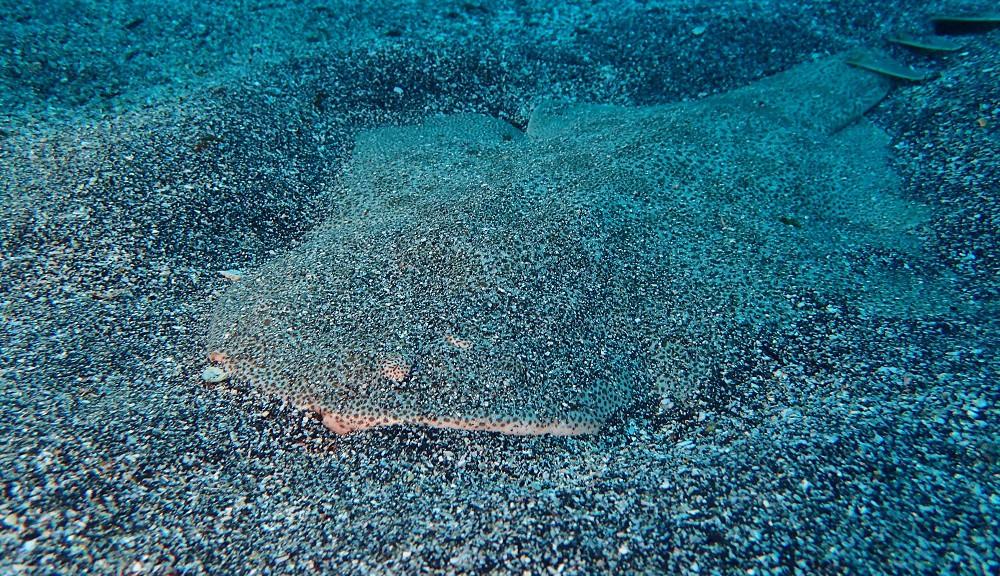 砂地で会える大型魚・カスザメ