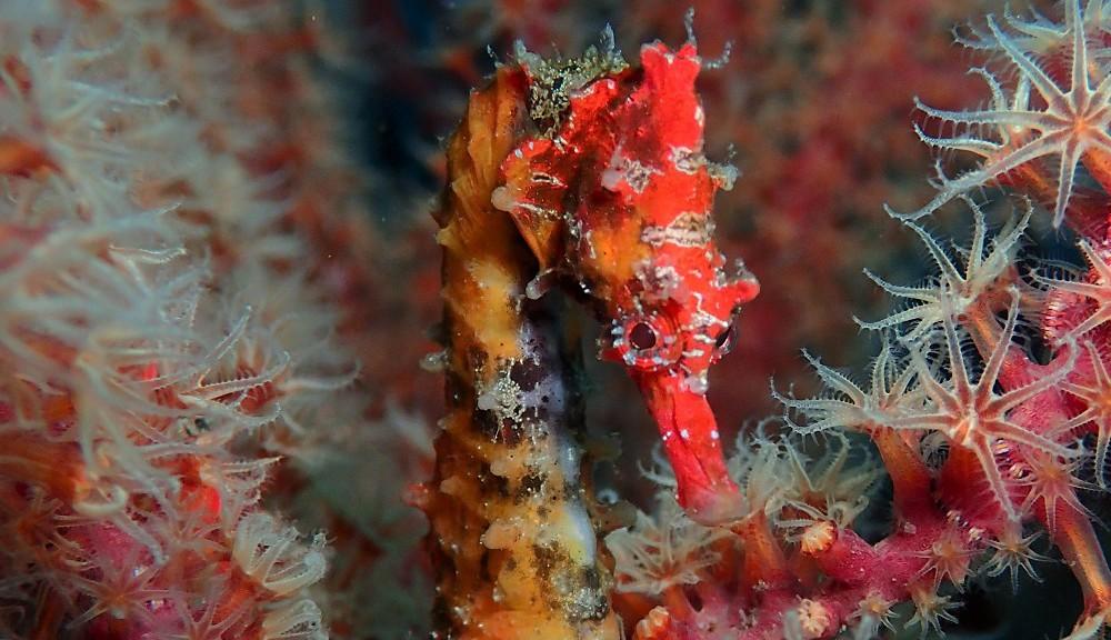 鮮やかな赤い体色・ハナタツのオス