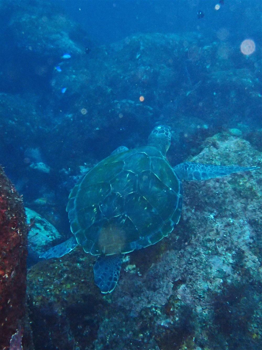 アオウミガメ幼体