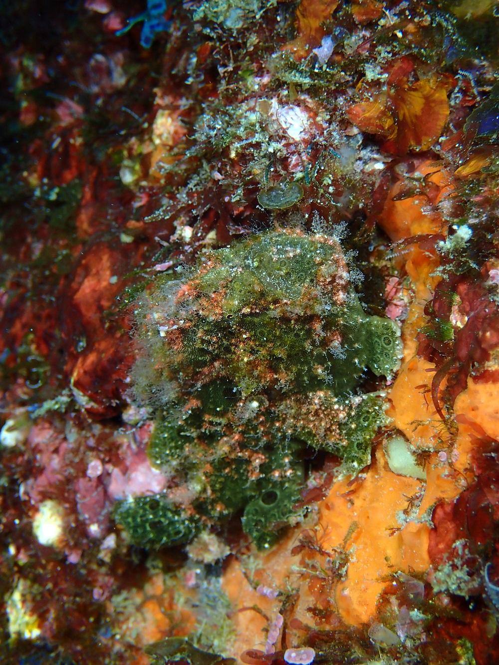 海草?イロカエルアンコウ緑