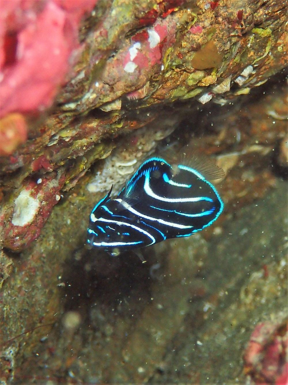 サザナミヤッコ幼魚、模様が光り、はっきりしてきました。