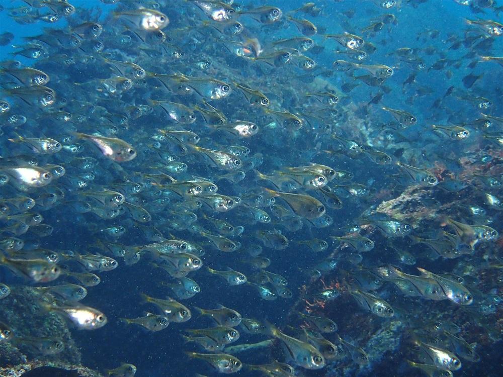 体形が特徴的なミナミハタンポ幼魚