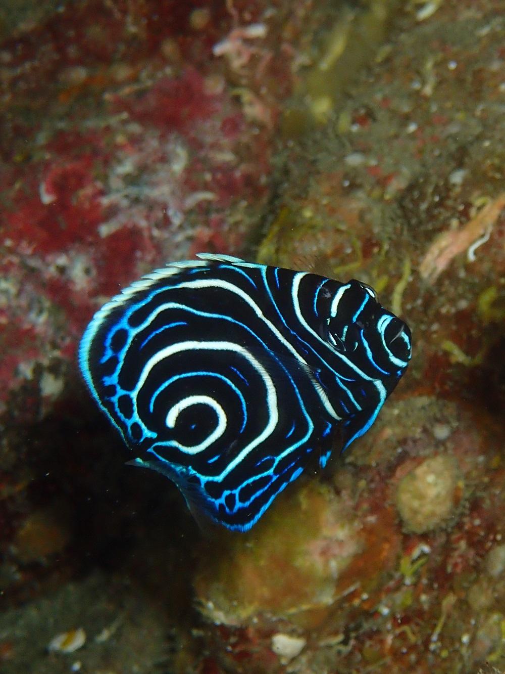 渦巻きが綺麗なタテジマキンチャクダイ幼魚