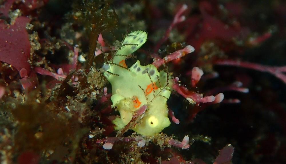 極小イロカエルアンコウ黄