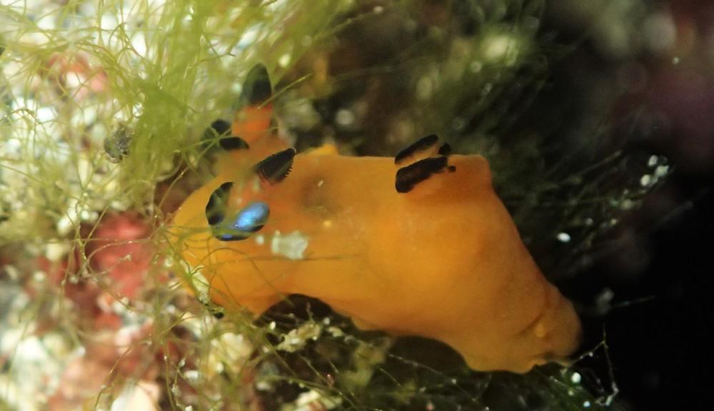 ウデフリツノザヤウミウシ