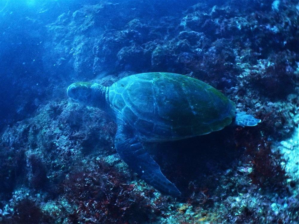 高確率で見られるウミガメ