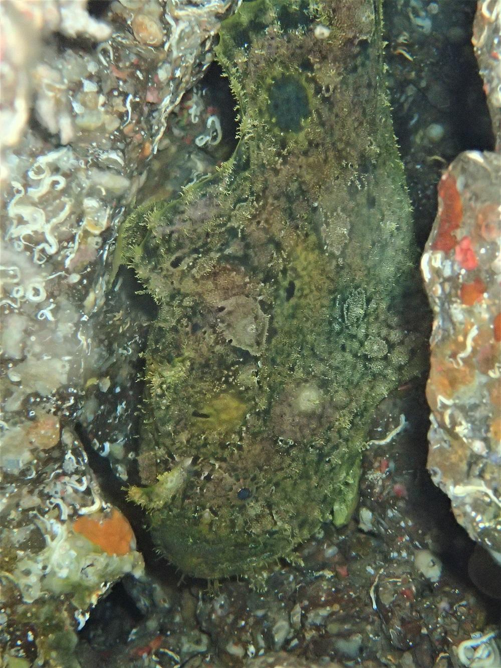 穴の中にソウシカエルアンコウ