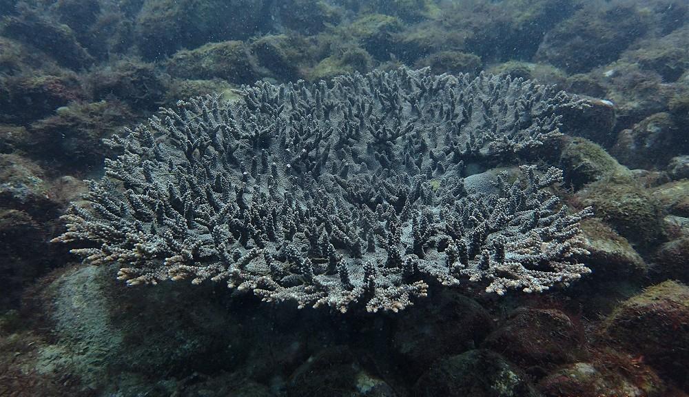 まるで南の海・テーブルサンゴ