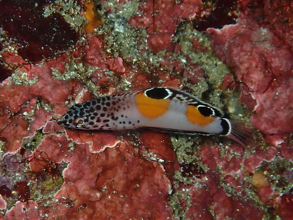 只今、成長中!カンムリベラ幼魚
