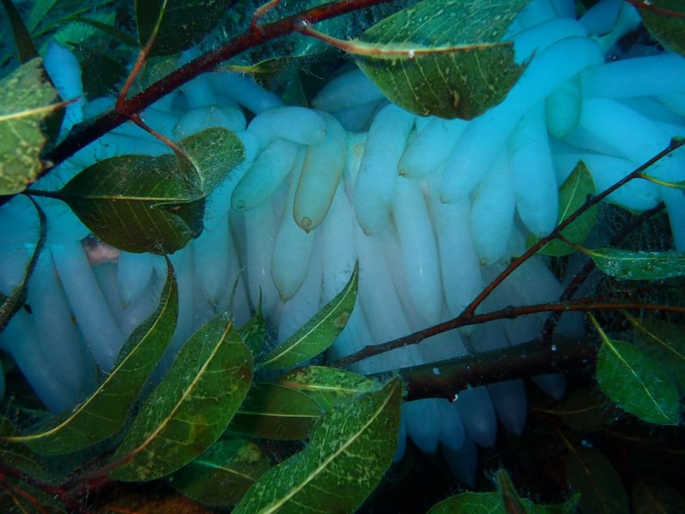 産卵床に産み付けられたアオリイカの卵