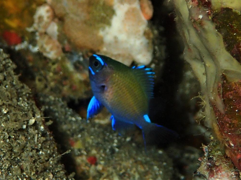 驚く程の成長ぶりアマミスズメダイ幼魚