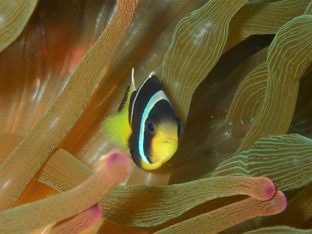 イソギンチャクの中でクマノミ幼魚