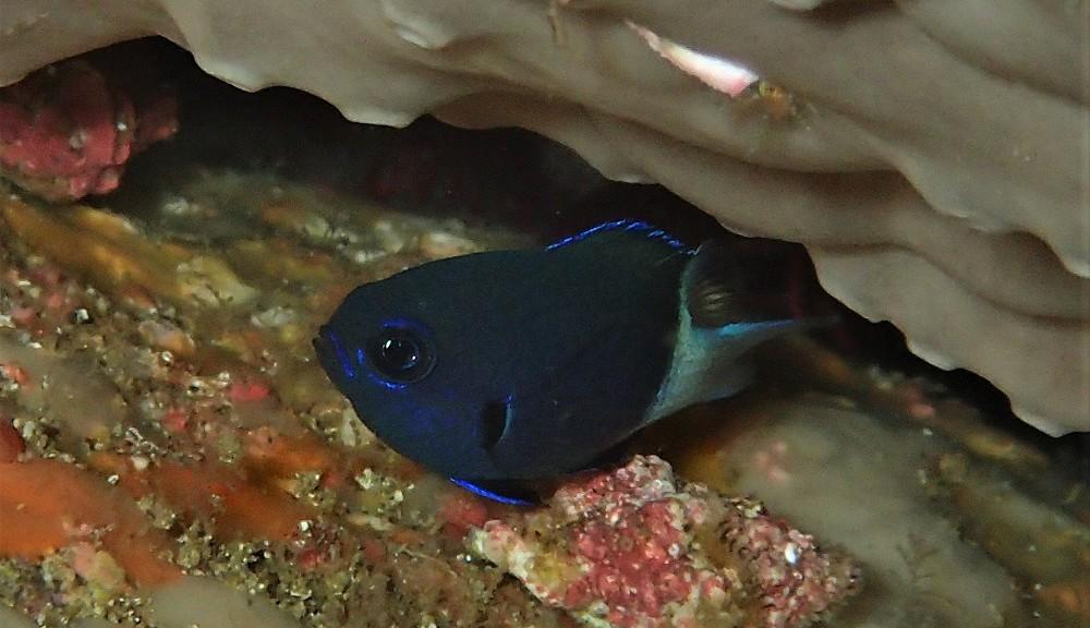 黒×白+青の縁取り・シコクスズメダイ幼魚