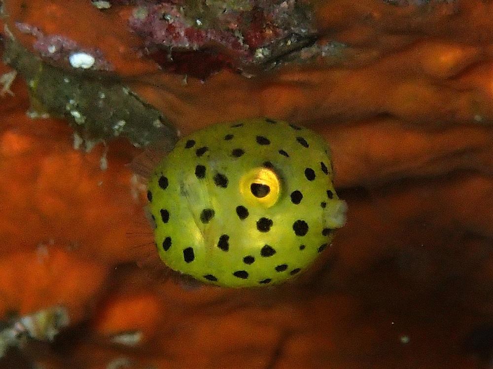 魚界のサイコロ?ミナミハコフグ幼魚