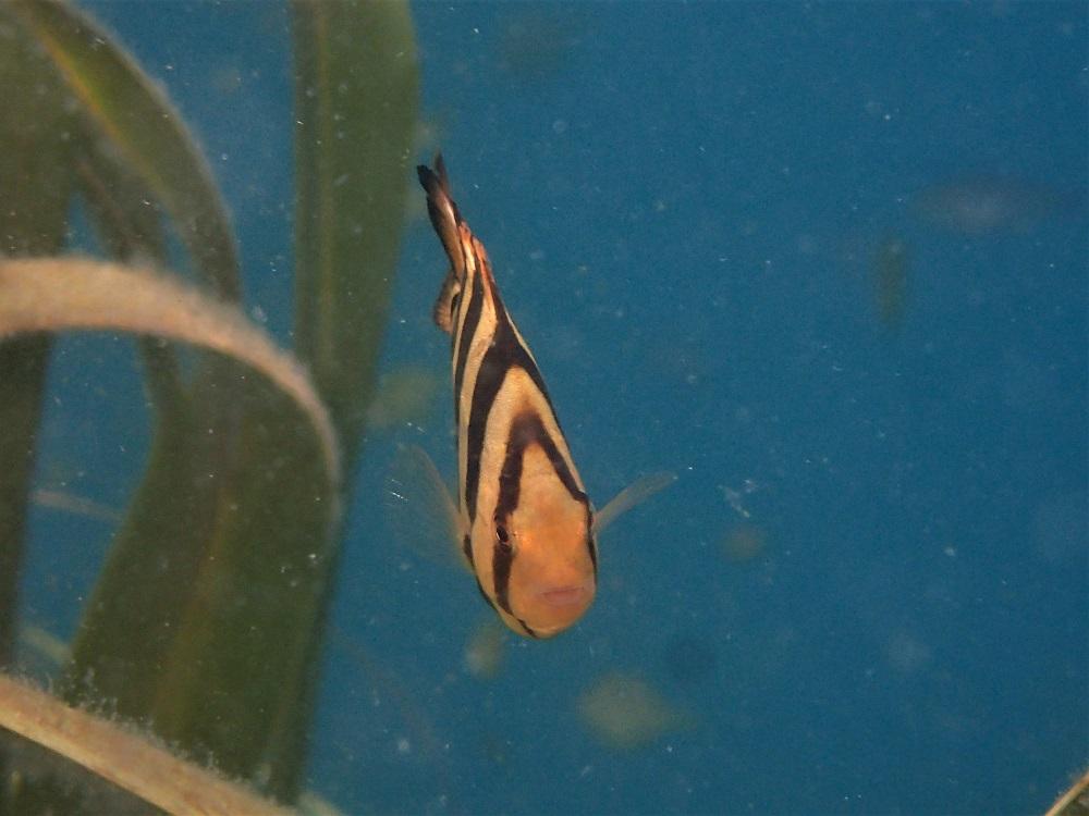 浮き魚種にイシダイ幼魚