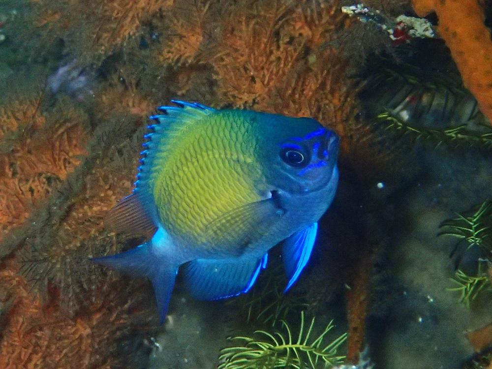 青く輝くアマミスズメダイ幼魚