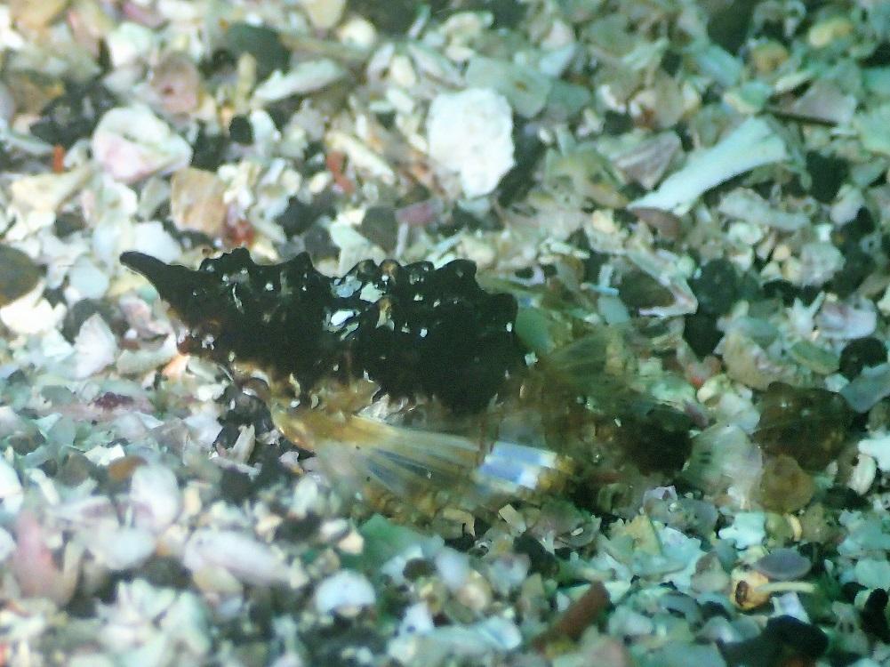 見た目は小石・ウミテング幼魚