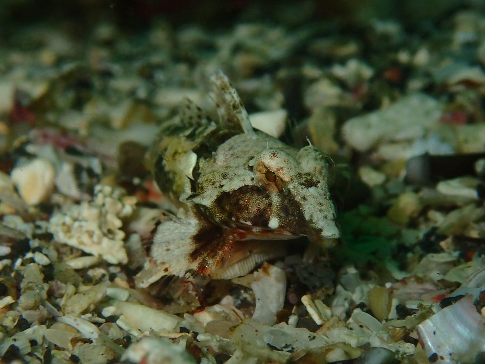 サンゴハナビヌメリ・♀