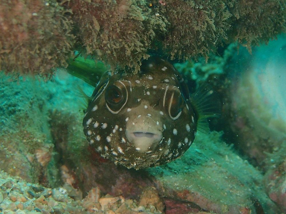 丸々としたサザナミフグ幼魚