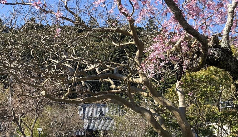 桜と修禅寺前