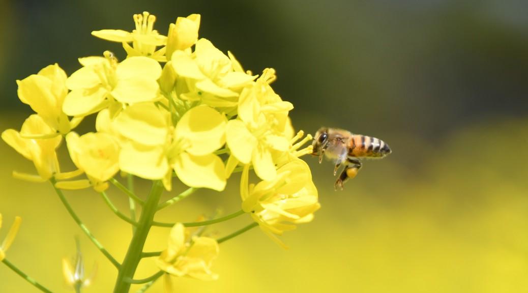 お店の近くでミツバチの蜜集め