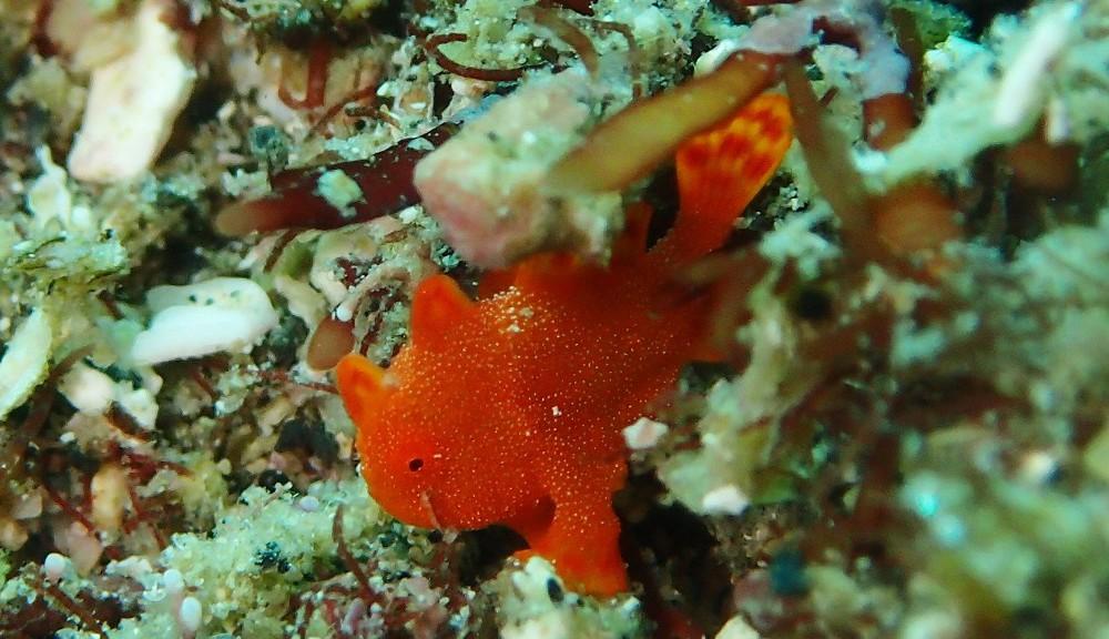 イロカエルアンコウ極小幼魚